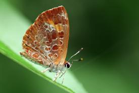 harvester_butterfly