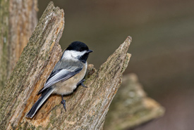 Black-capped-chickadee-Photo-by-Lorne-thumb