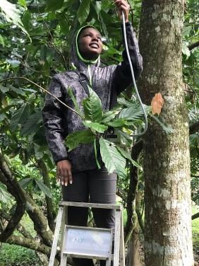 Teressa A_cacao tree